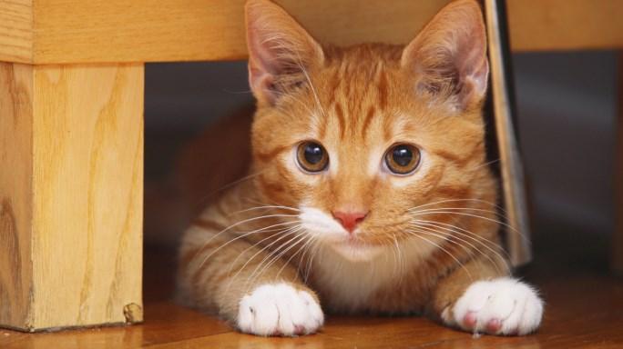 Los gatos pueden alterarse a causa de los ruidos fuertes