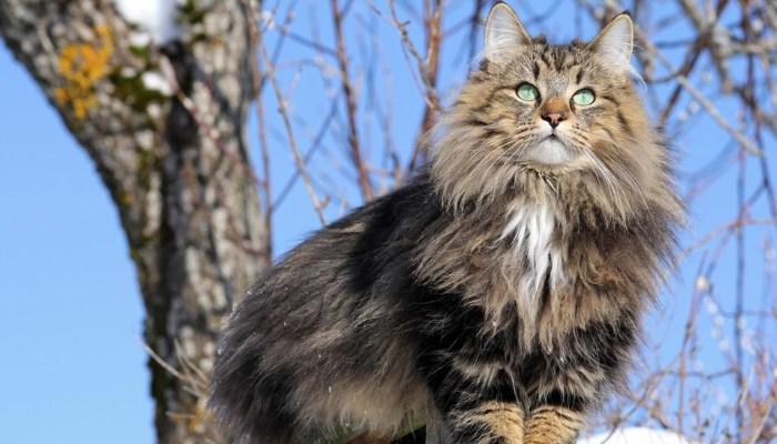 el gato adapta su pelaje tan largo o tan corto como el clima lo requiera