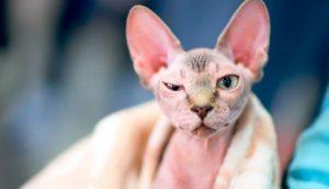 Gato Egipcio Blanco