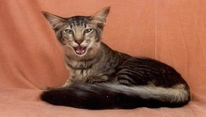 Cola del gato oriental de pelo largo