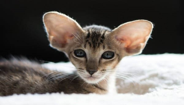 Gato oriental de pelo largo de pequeño