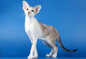 Gato Seychellois