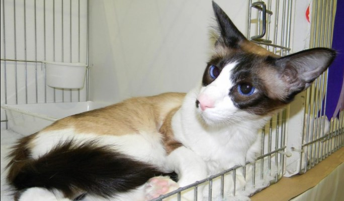 Gato Seychellois de pelo corto