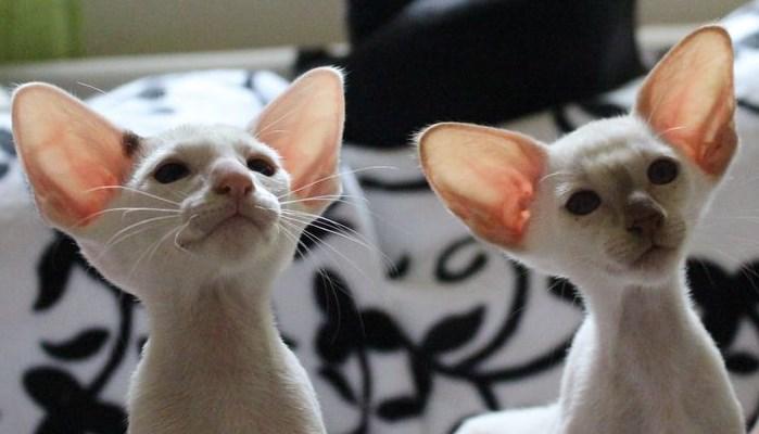 precio del gato Seychellois de pelo corto