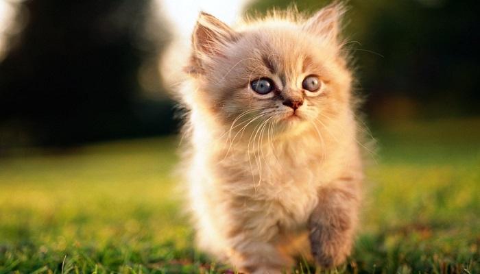 Clases de Gatos Persas