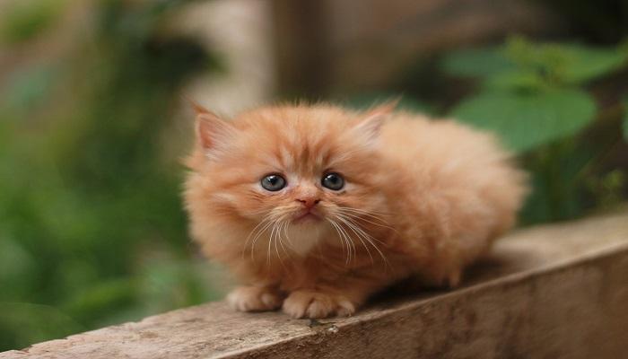 gato persa rojo
