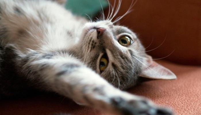 comportamiento de gata en celo