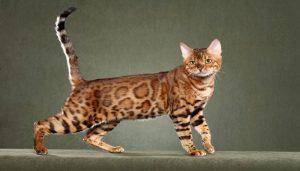 gato-africano-domestico