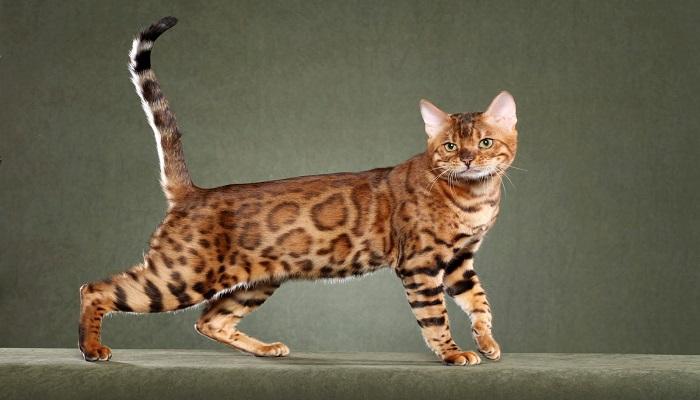 Gato Africano Doméstico Todo Sobre El Gato Más Alto Del Mundo