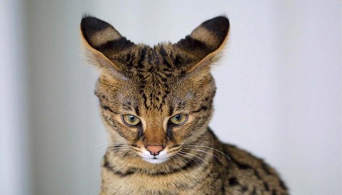 mirada penetrante del gato africano doméstico.