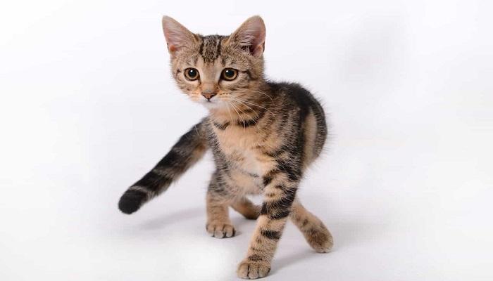 gato africano doméstico mostrando sus cuatro patas.
