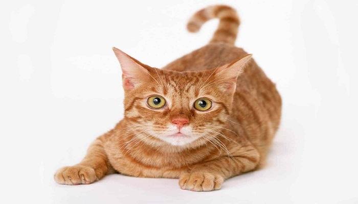Distinto color del gato Munchkin