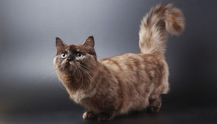 Gato munchkin, el felino de patas cortitas