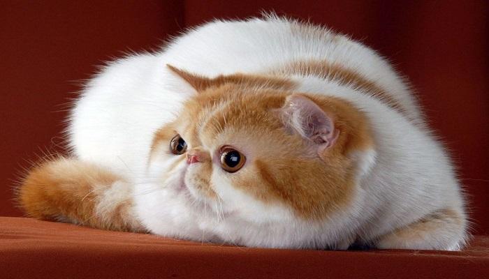 un gordito y peludo gato exótico de pelo corto.