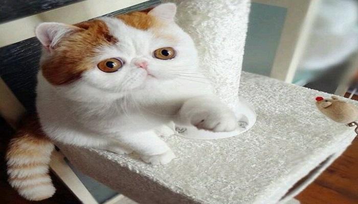 gato exótico de pelo corto mostrando su patita.