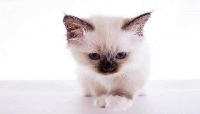 Gato mostrando sus puntas de las patitas blancas