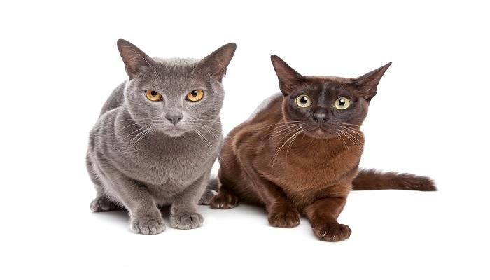 Par de gatos burmés con color de pelaje distintos.