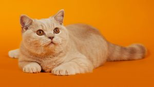 Hermoso gato burmés color miel, con un fondo naranja.