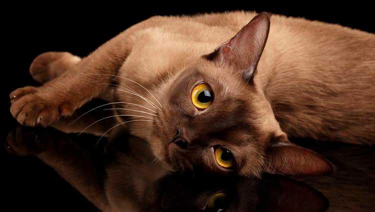 Gato burmés con color de ojos naranja.