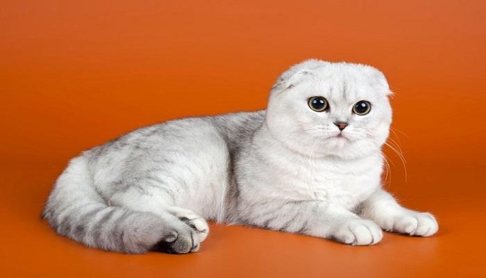 gato scottish fold de color blanco con gris