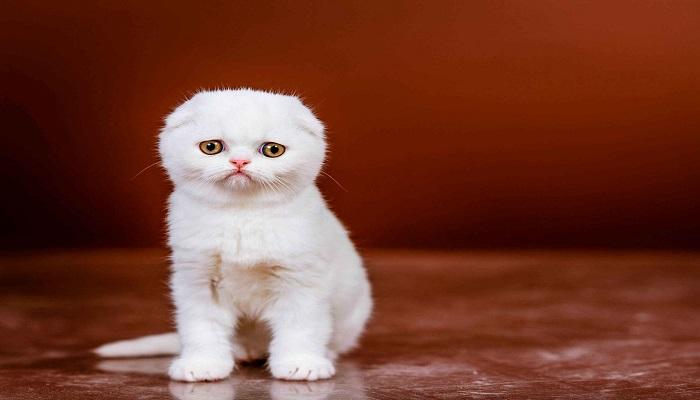 Hermoso y tierno gato scottish fold