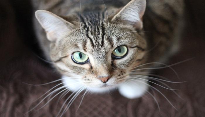 El gato serengeti posee unos hermosos ojos