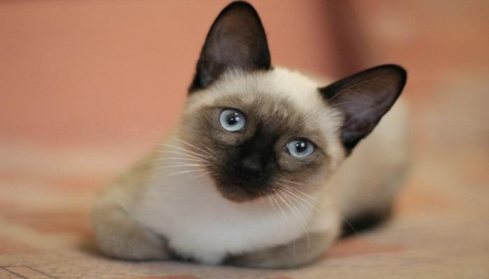 blanco,. beige o crema, los colores del pelaje del gato siamés moderno.