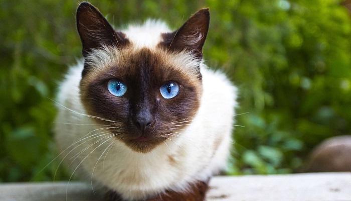 hermosos ojos, los que tiene el gato siamés moderno