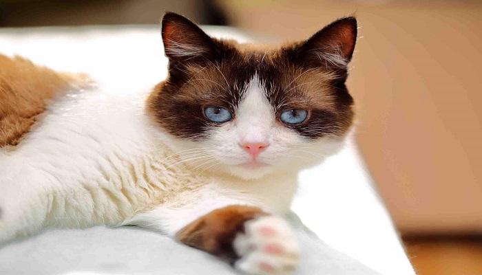 La salud y belleza del gato snowshoe