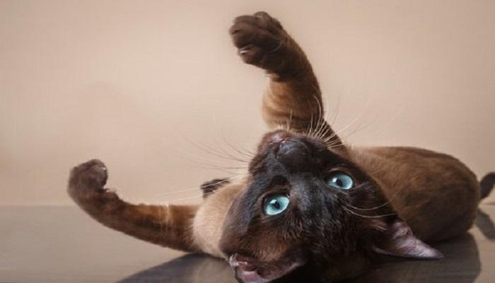 lindo gato tonkinés juguetón.