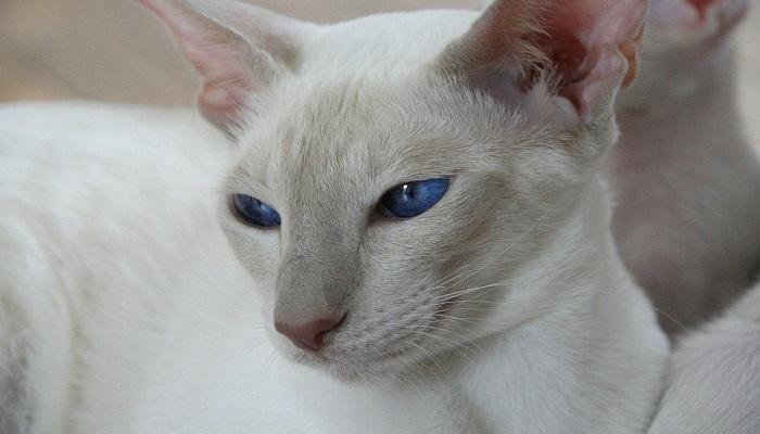 hermosa mirada del gato Tonkinés. con sus ojos azules, en forma de almendra abierta.