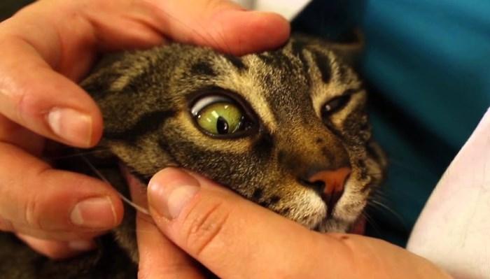 Síntomas de la leucemia en gatos