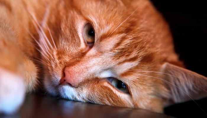 Calidad de Vida de los Gatos con Leucemia