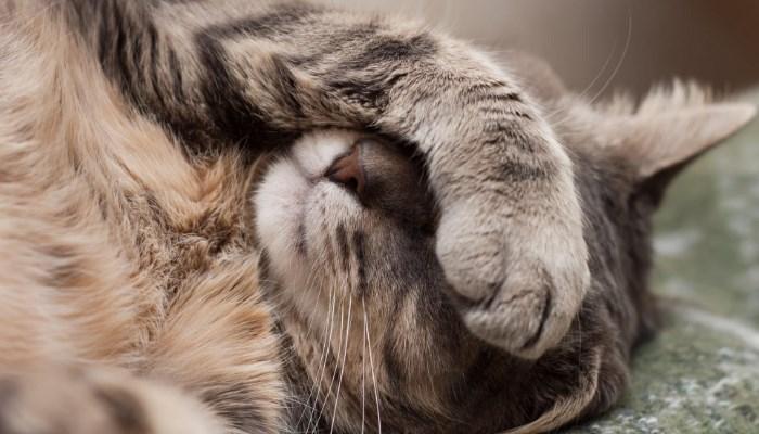Úlceras corneales en gatos
