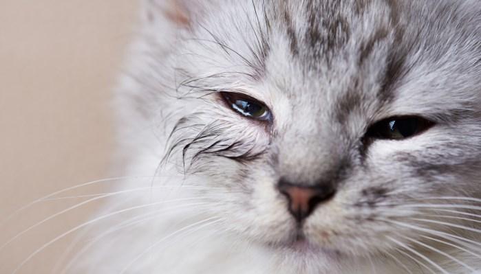 Ojos llorosos en gatos
