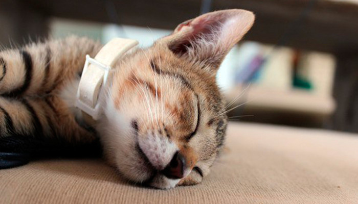 Gato con collar antipulgas