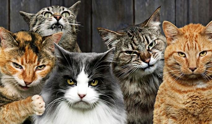 Razón para evitar la reproducción de los gatos