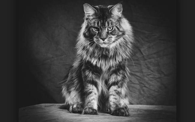 el gato mas grande del mundo-1