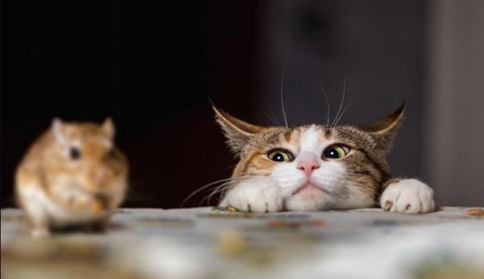 Platillo casero para gatos