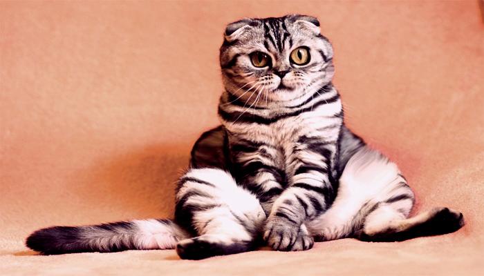 La esterilización afecta el peso de tu gato