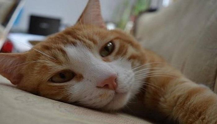 gato con síntomas del calicivirus felino
