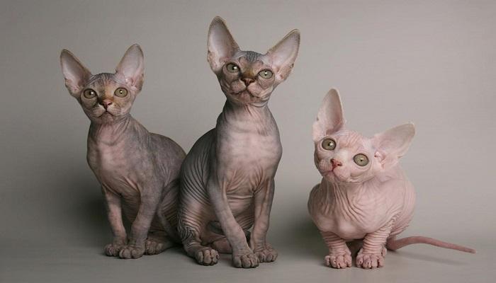 Razas de gato sin pelo.