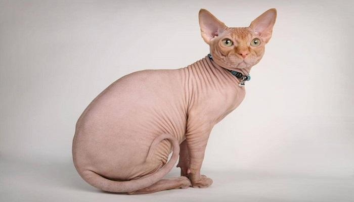 Gato symphyx sin pelos