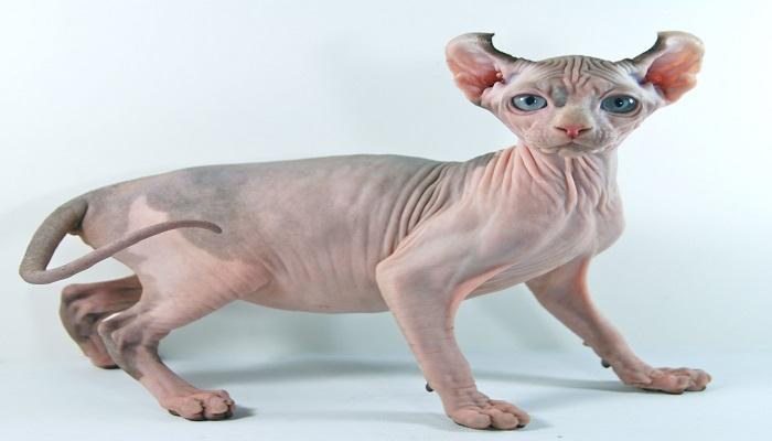 Gato elfo, raza de gato sin pelo.