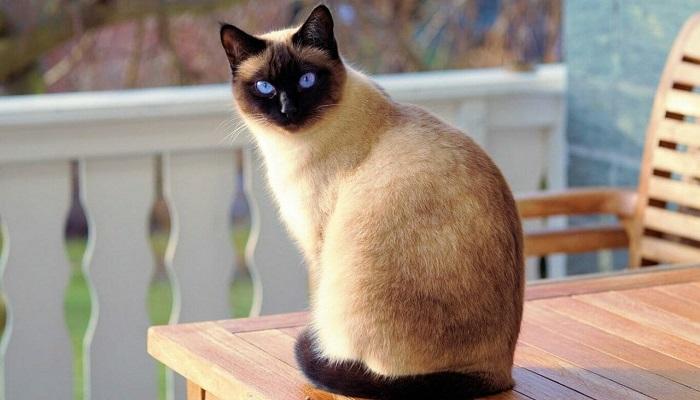 Gato siamés, se distingue por sus hermosos ojos color azul brillante. representa la raza mas inteligente.