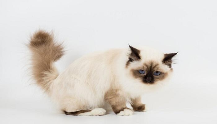 El gato birmano, con características parecidas al gato Siamés. una de las razas de gatos más inteligentes.