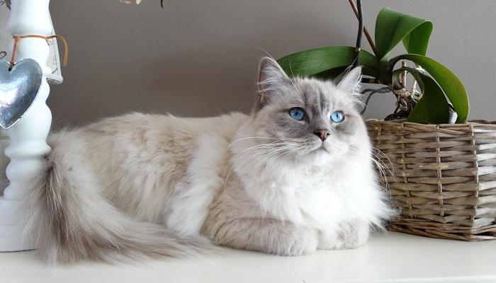gato angora, considerado uno de las razas de gatos más inteligentes.