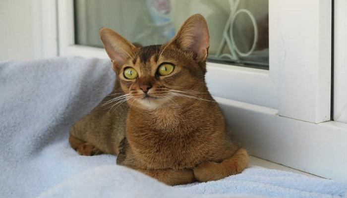 Gato abisinio, una de las razas de gatos más inteligentes.