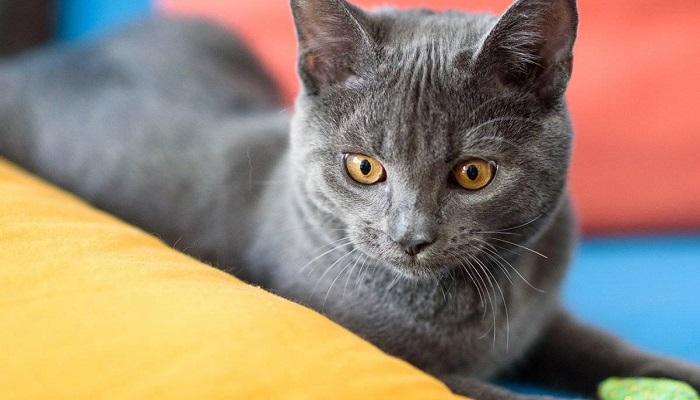 gato gris famoso