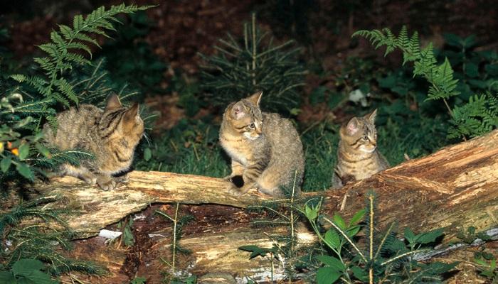 3 felinos en el bosque.
